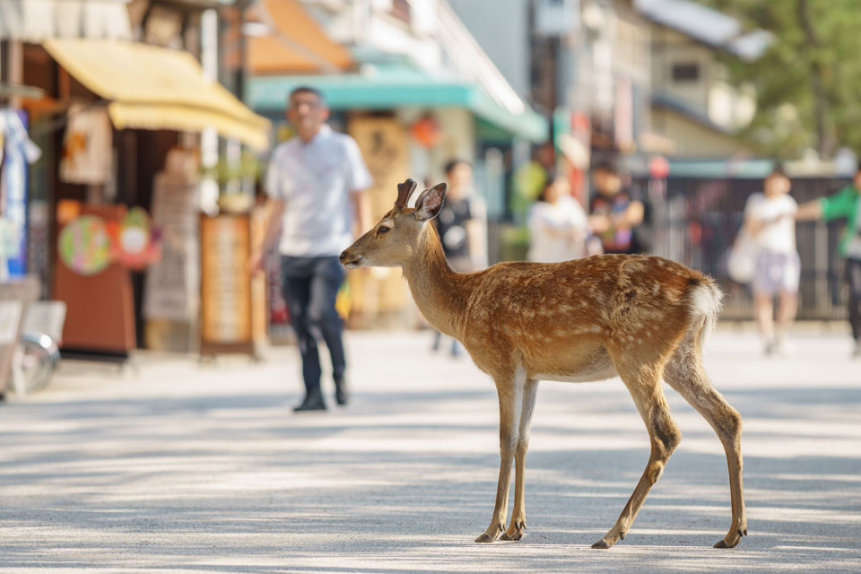 Springtime at the 2017 Miyajima Marathon is For Lovers and Runners